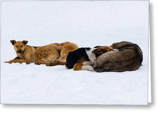 Pariah Dogs On The Snow - Featured 2 Greeting Card by Alexander Senin