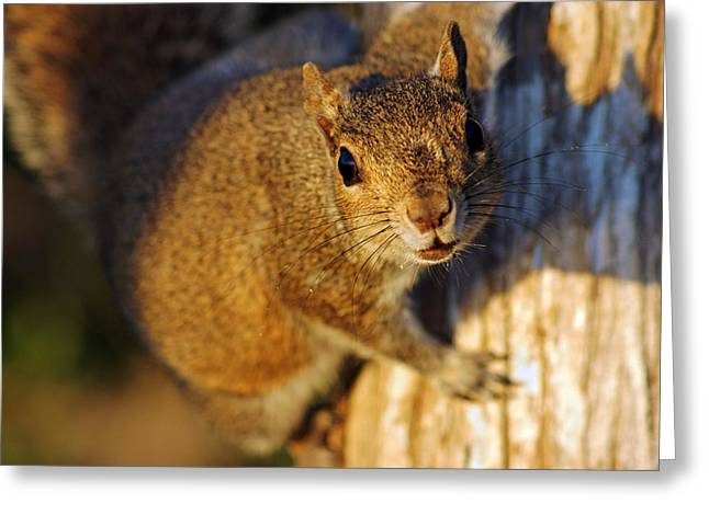 Greeting Card featuring the photograph Park Squirrel II by Daniel Woodrum
