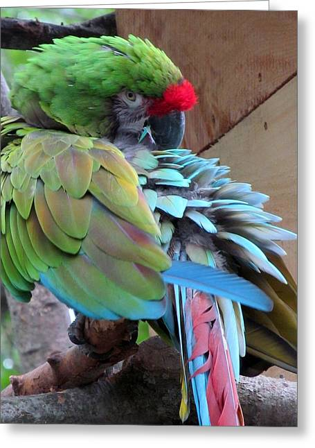 Parrot Feathers Greeting Card by Loretta Pokorny