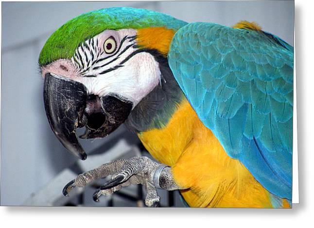 Parrot Greeting Card by Selma Glunn
