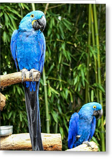 Parroting Parrots Greeting Card