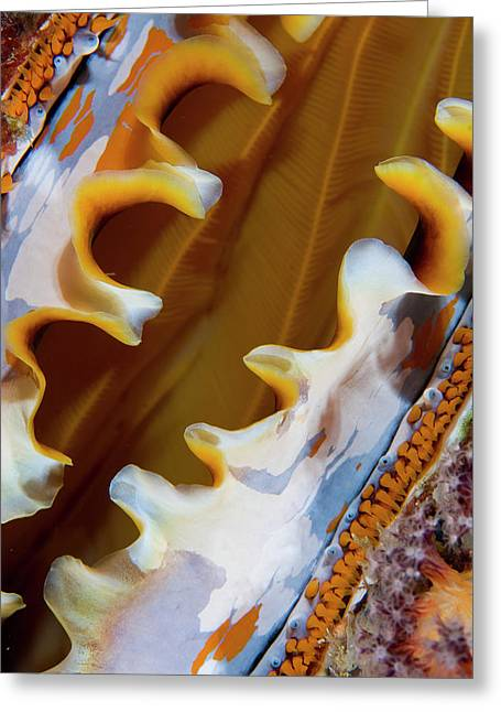 Partially Open Oyster Shell, Raja Greeting Card