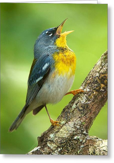 Parula Song Greeting Card