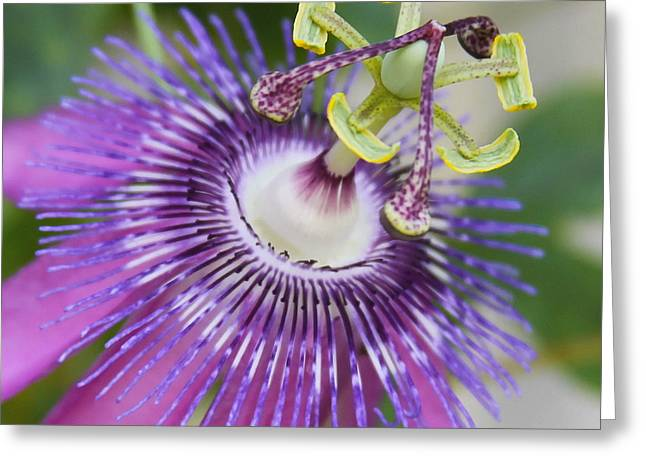 Passion Flower Close Up Greeting Card by Cathy Lindsey