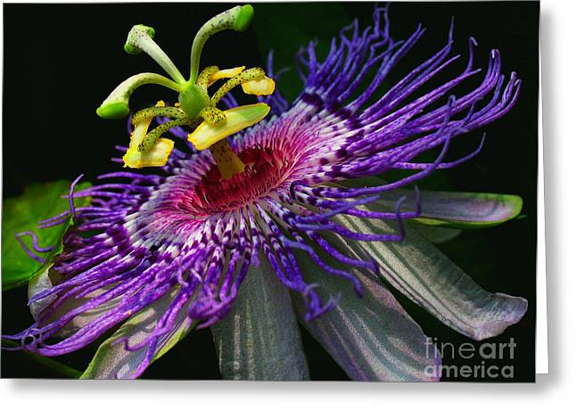 Passion Flower Greeting Card by Douglas Stucky