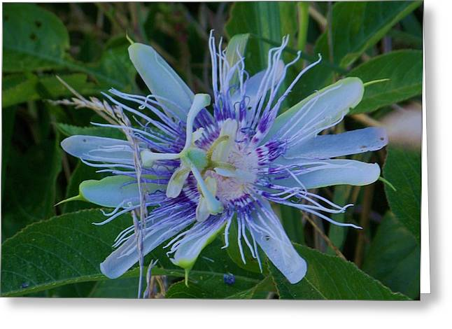 passion flower II Greeting Card