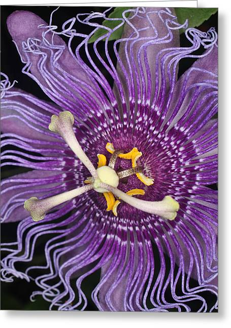 Passion Flower Greeting Card by Jeff Wright