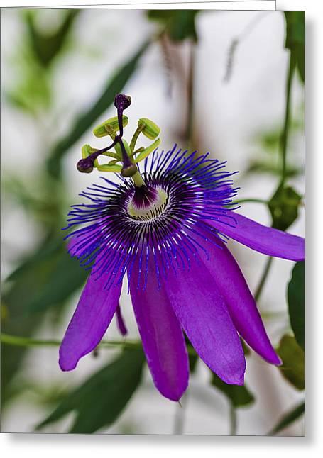 Passion Flower Greeting Card by Maj Seda