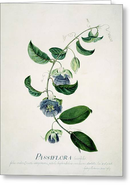 Passion Flower Greeting Card by Natural History Museum, London/science Photo Library
