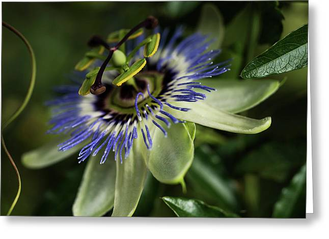 Passion Flower  Passiflora  Blooms Greeting Card by Robert L. Potts