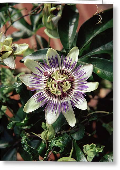 Passion Flower (passiflora Caerulea) Greeting Card