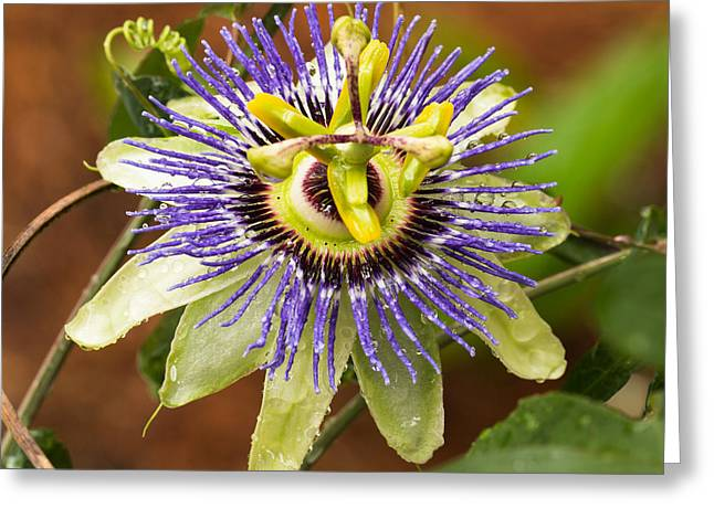 Passion Flower Greeting Card by Patricia Schaefer