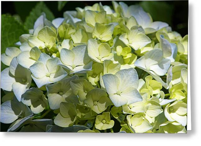 Pastel Blue White Green Hydrangea Flowers Greeting Card