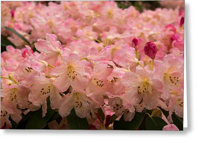 Pastel Coral Azaleas Refreshed By The Rains Greeting Card