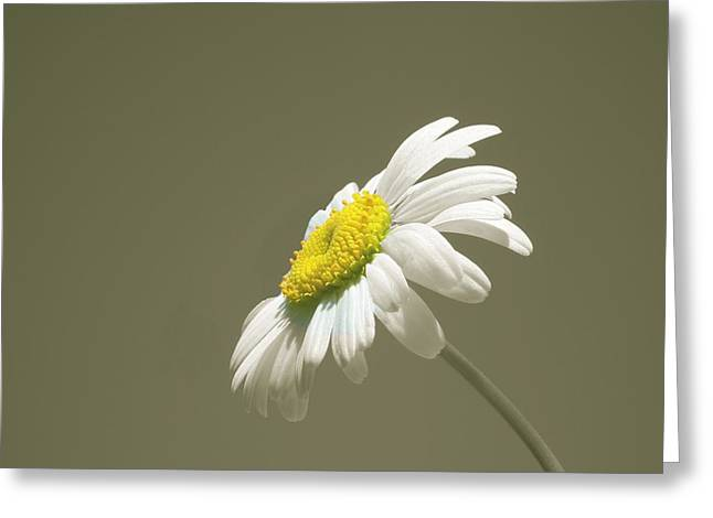 Pastel Daisy Flower Greeting Card by David Dehner