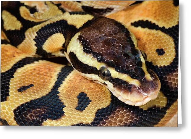 Pastel Royal Python Greeting Card by Nigel Downer