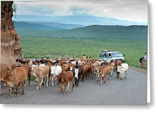 Pastoralists Moving Their Herd Greeting Card