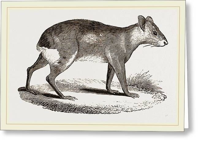 Patagonian Cavy Greeting Card by Litz Collection