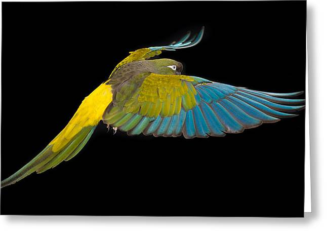 Patagonian Conure In Flight 2 Greeting Card