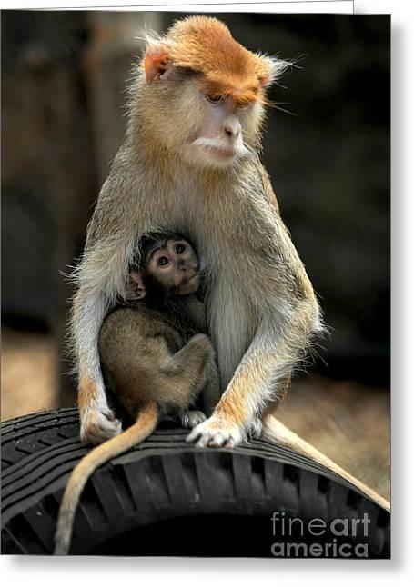 Patas monkey greeting cards fine art america patas monkey greeting card m4hsunfo