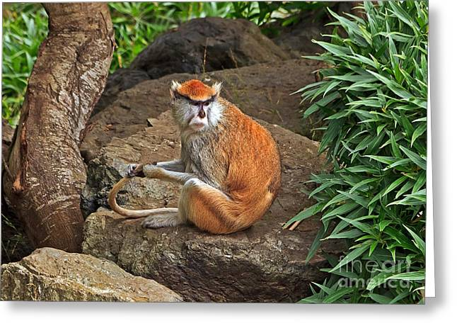 Greeting Card featuring the photograph Patas Monkey by Kate Brown