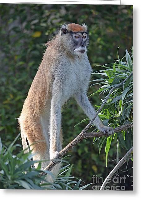 Patas Monkey On High Alert Greeting Card by Jim Fitzpatrick