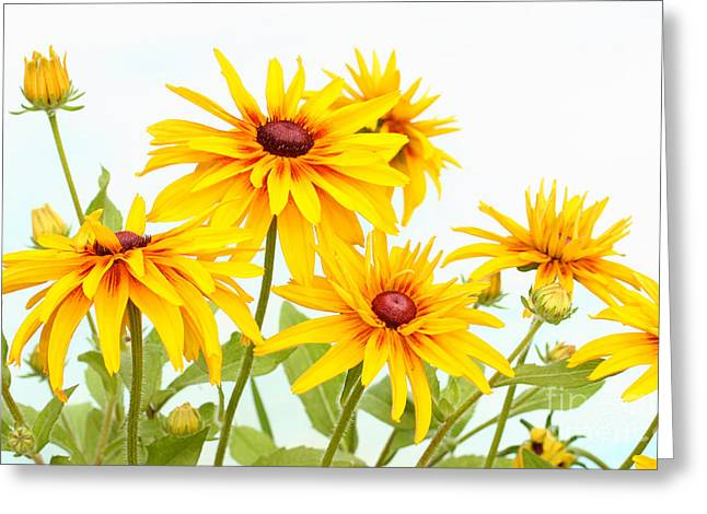 Greeting Card featuring the photograph Patch Of Black-eyed Susan by Steve Augustin