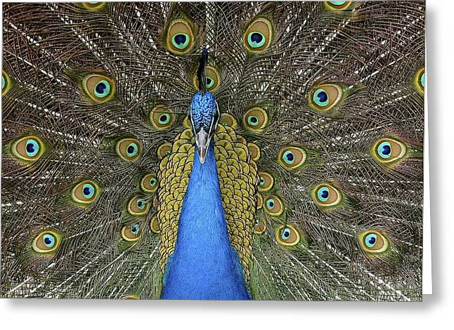 Patient Peacock Greeting Card