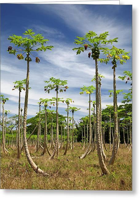 Pawpaw (papaya) Plantation, Lower Greeting Card