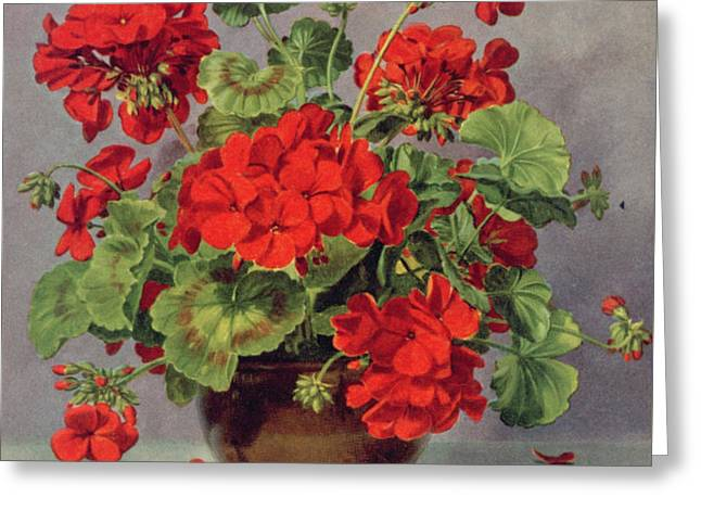 Geranium In An Earthenware Vase Greeting Card by Albert Williams