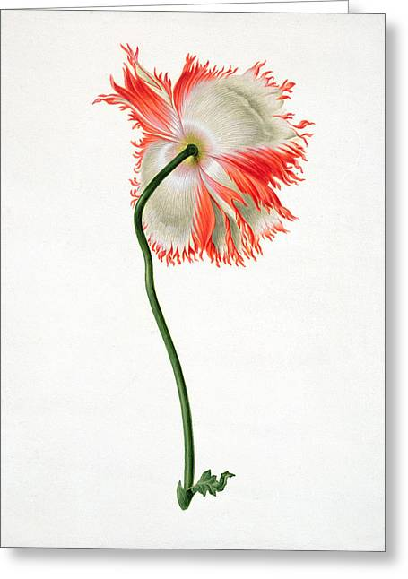 Field Poppy Greeting Card by Pieter Withoos