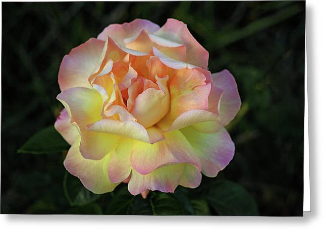 Peace Rose Greeting Card by Sandy Keeton