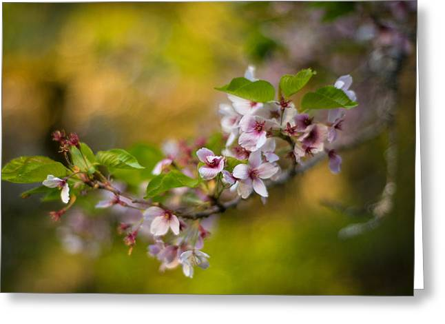 Peaceful Cherry Light Greeting Card