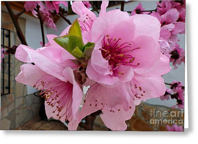 Peach Blossom 2 Greeting Card by Rod Jones