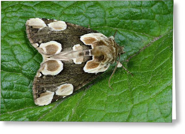 Peach Blossom Moth Greeting Card by Nigel Downer