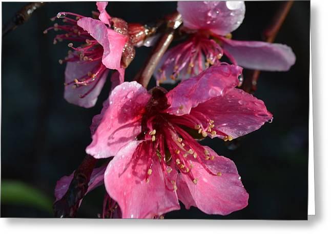 Peach Blossoms 1.1 Greeting Card