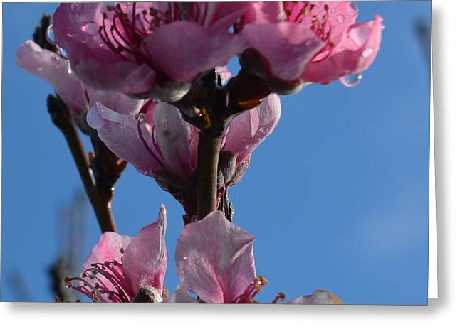 Peach Blossoms 1.6 Greeting Card