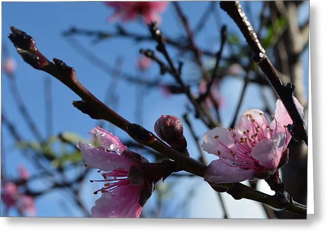 Peach Blossoms 1.7 Greeting Card