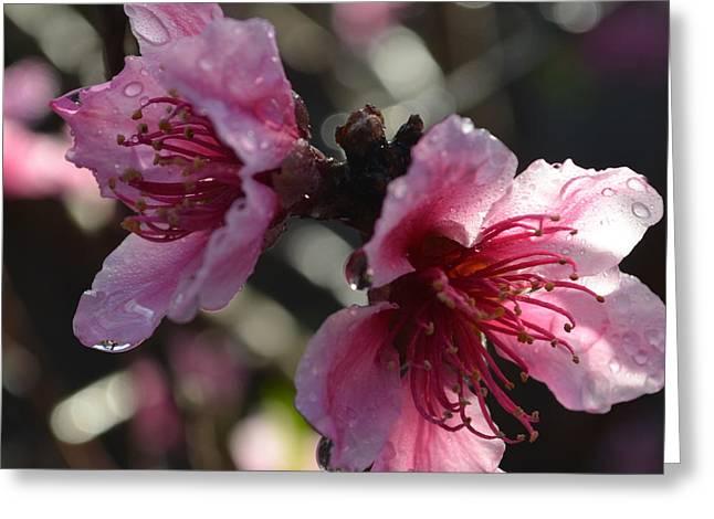 Peach Blossoms 1.2 Greeting Card
