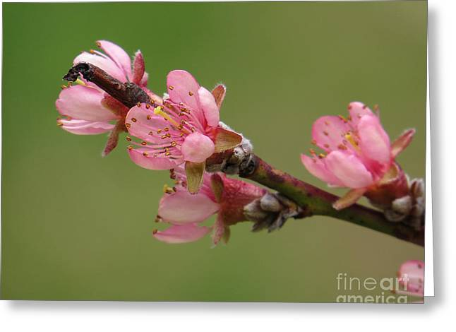 Peach Blossoms II Greeting Card