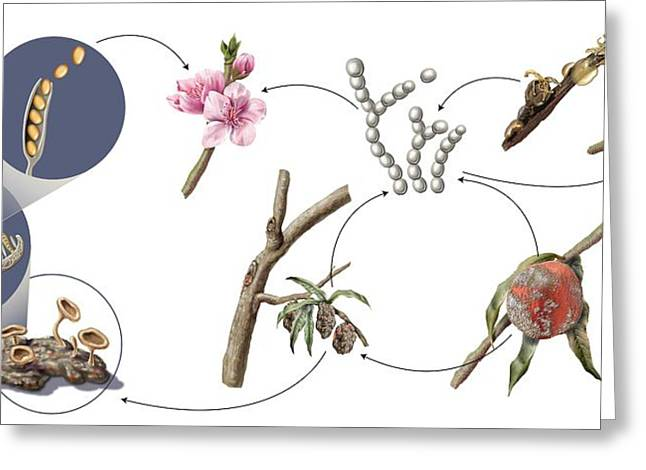 Peach Brown Rot Life-cycle Greeting Card by Nicolle R. Fuller/science Photo Library