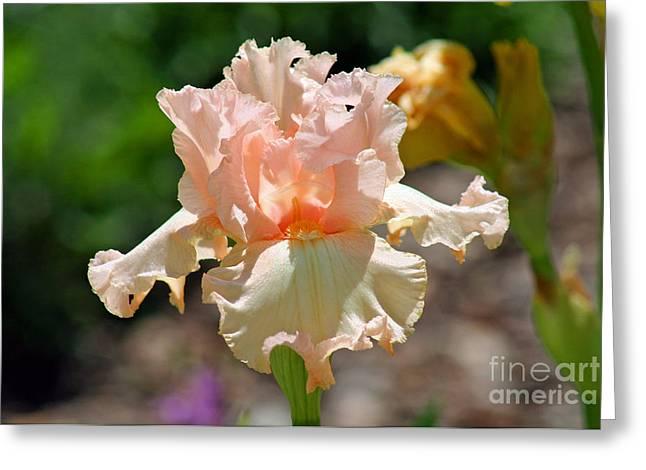 Peach-colored Iris Greeting Card by Karen Adams