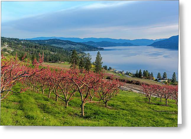 Peach Orchard In Bloom In Lake Country Greeting Card