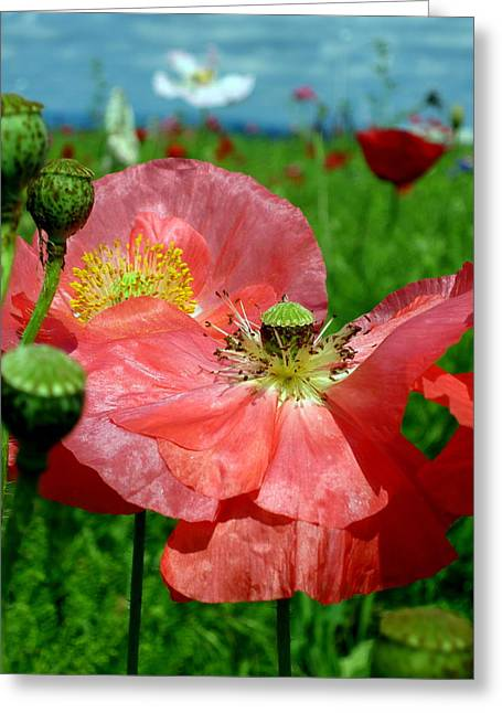 Peach Poppy Pods Greeting Card