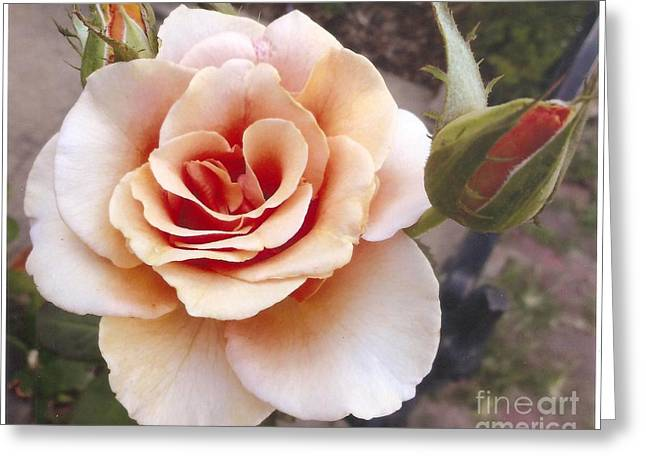 Peach Rose 1 Greeting Card by Rod Ismay