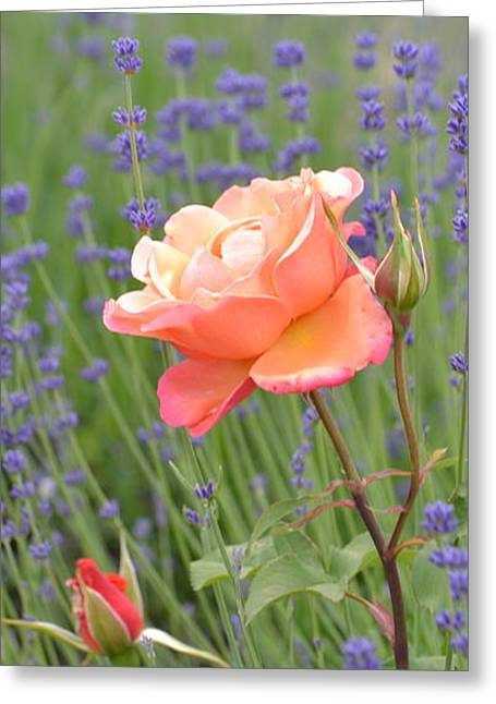 Peach Roses In A Lavender Field Of Flowers Greeting Card by P S
