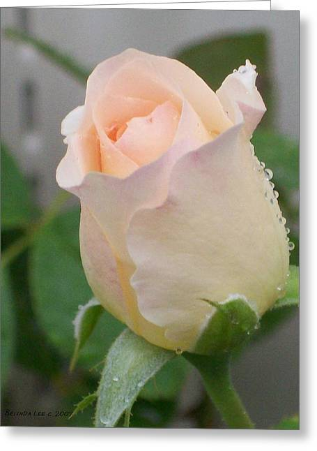 Greeting Card featuring the photograph Fragile Peach Rose Bud by Belinda Lee