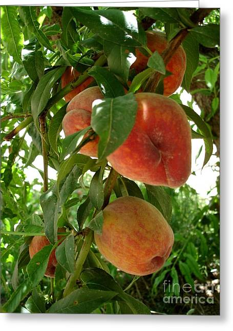 Greeting Card featuring the photograph Peaches On The Tree by Kerri Mortenson