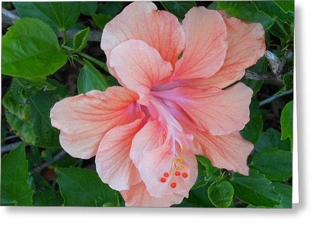 Peachy Hibiscus Greeting Card by Kay Gilley
