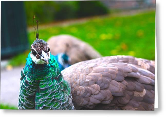 Peacock 3 Greeting Card by Izabela Bienko